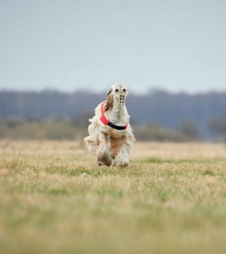 Our afghan hound Mirabell in a coursing racing