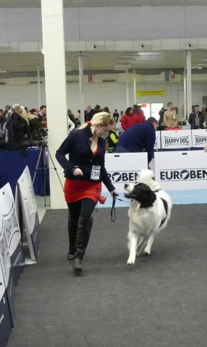 Our landseer Kiara in a dogshow