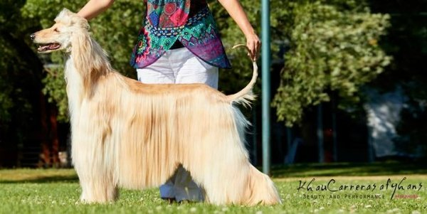 Mother of our afghan hound Mirabell