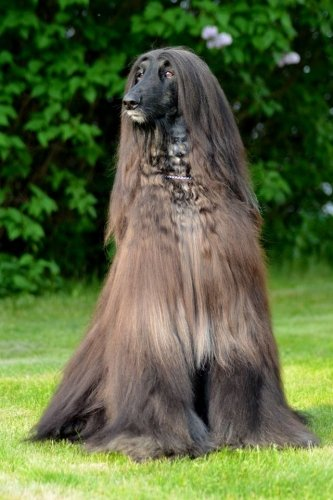 Father of our afghan hound Mirabell