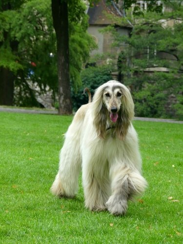 Our beautiful afghan hound Mirabell